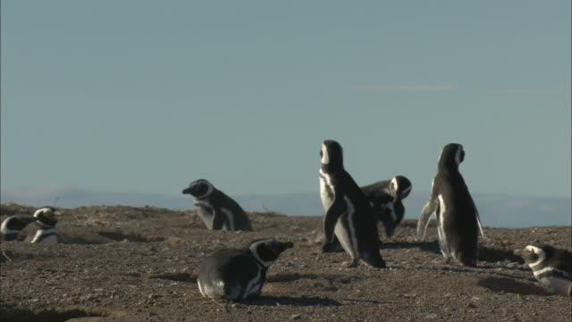 ms, pan, magellanic penguins (spheniscus magellanicuss) around barrows, punta tombo, argentina - argentina stock videos & royalty-free footage