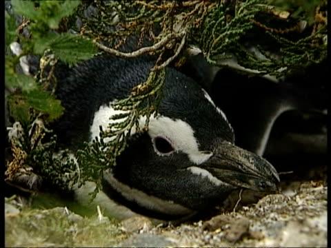 cu magellanic penguins, spheniscus magellanicus, peering out from burrow, antarctica - maul stock-videos und b-roll-filmmaterial
