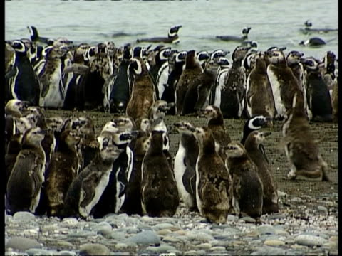vidéos et rushes de ms magellanic penguins, spheniscus magellanicus, standing around amongst colony, antarctica - colony