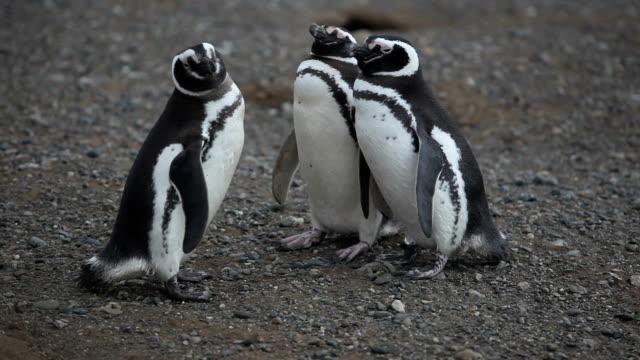 vídeos de stock, filmes e b-roll de pinguins-de-magalhães - estreito descrição geral