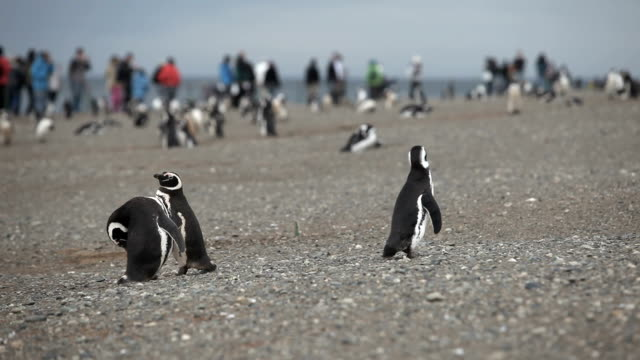 magellanic penguins - straits stock videos and b-roll footage