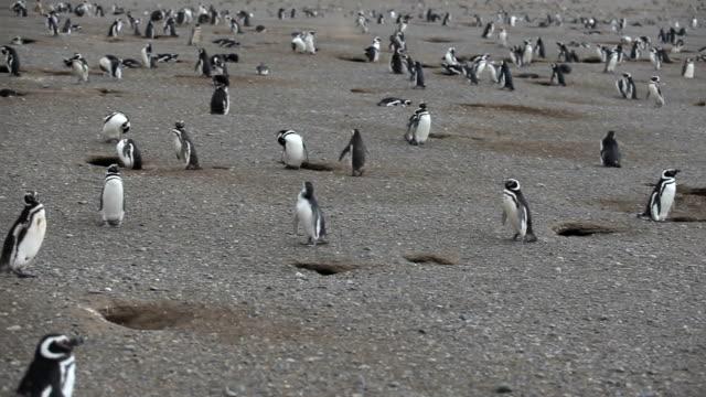 vídeos de stock e filmes b-roll de magalhães penguins - estreito descrição física