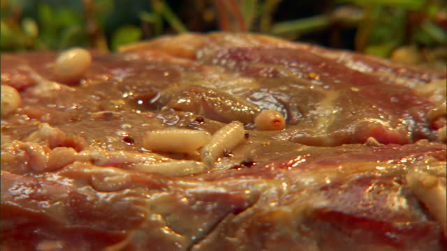vidéos et rushes de maggots crawl over rotting meat. - viande