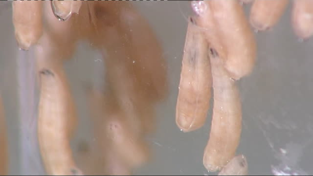 maggots used to eliminate mrsa: maggots, cockroaches and slugs in science lab; more of maggots in glass jar / brown slugs - staphylococcus aureus stock videos & royalty-free footage