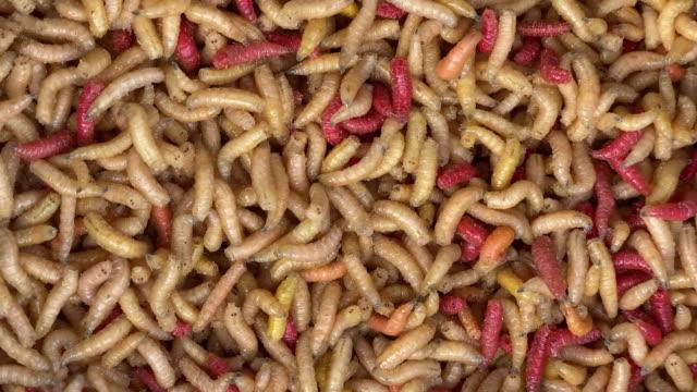 maggots - larva stock videos & royalty-free footage