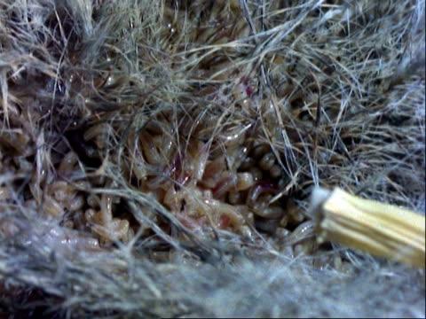 Maggots, CU wriggling around on dead rat's body