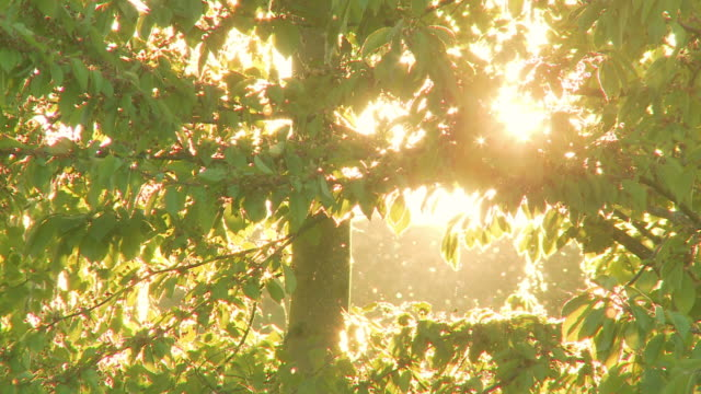vidéos et rushes de magical summer scene of pollen floating through air - arbre