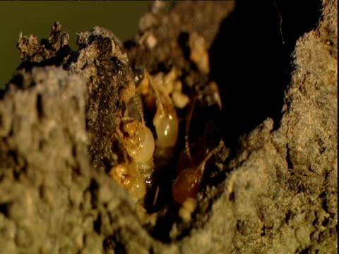 magnetic termites mend hole in their mound - erezione video stock e b–roll