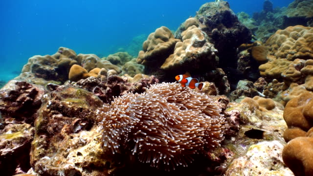 magnificent anemone (heteractis magnifica) with western clownfish anemonefish (amphiprion ocellaris) symbiotic relationship. fragile coral reef ecosystem ocean environment, koh haa, andaman sea, krabi, thailand. - symbiotic relationship stock videos & royalty-free footage