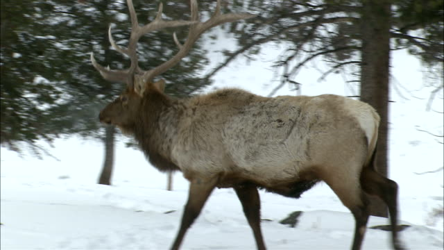 a magnificent elk rests in the snow then walks through snowy woodlands. - deer stock videos & royalty-free footage