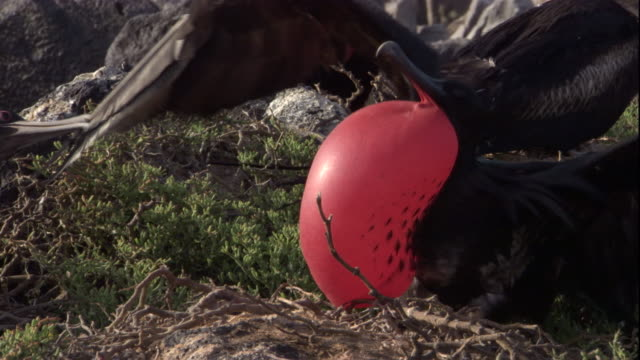 A magnificent frigate bird wobbles on a grassy knoll with its gular pouch inflated. Available in HD.