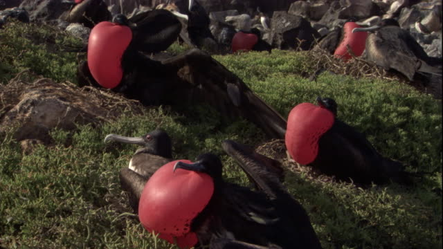 Magnificent frigate birds congregate on a grassy slope with their gular pouches inflated. Available in HD.