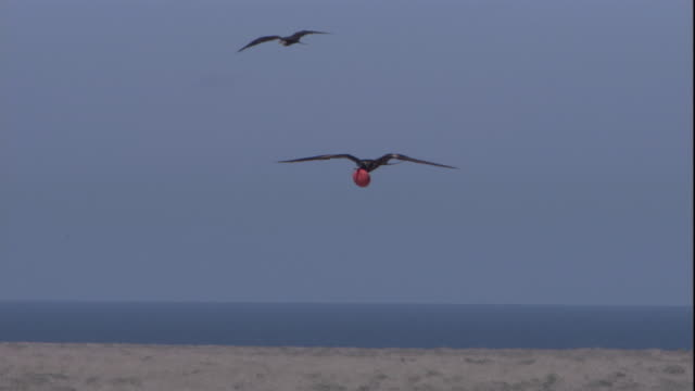 Magnificent frigate birds fly with their gular pouches inflated. Available in HD.