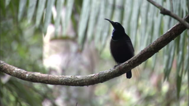 magnificent riflebird (ptiloris magnificus) calls in tree, papua new guinea - communication stock videos & royalty-free footage