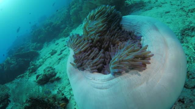 vídeos de stock, filmes e b-roll de magnificente anêmona do mar com peixe-palhaço-rosa - relação simbiótica