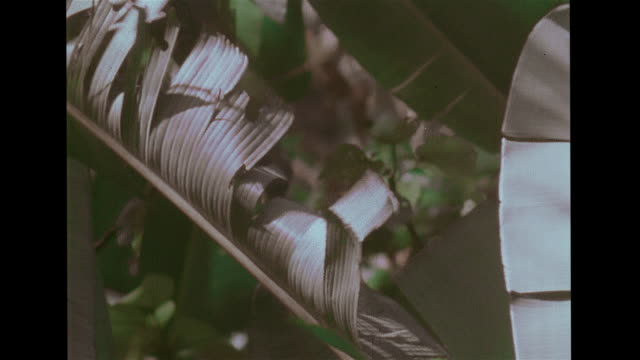 cu magnificent swallowtail butterfly flying cu plant w/ flat wide leaves moving in breeze cu dry leaf vs kapok tree w/ white cottonlike fiber... - tropical tree stock videos & royalty-free footage