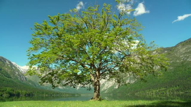 WS DS Magnificent tree on the shore of Lake Bohinj / Bohinj, Triglav National Park, Slovenia