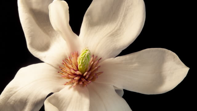 magnolia blossom time lapse, unfolding and blooming - makrofotografie stock-videos und b-roll-filmmaterial