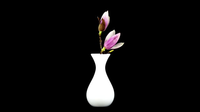 magnolia blossom; time lapse - vase stock videos & royalty-free footage
