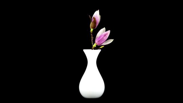 Magnolia blossom; TIME LAPSE