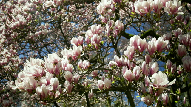 magnolia blossoms and blue sky in spring - blossom stock videos & royalty-free footage