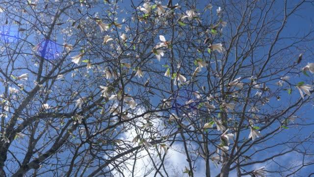magnolia blossoms (magnolia kobus/kobushi) - jp201806 stock videos and b-roll footage