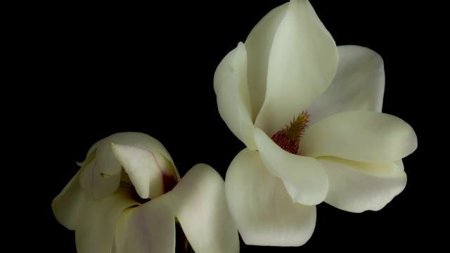 magnolia bud nature - decay stock videos & royalty-free footage