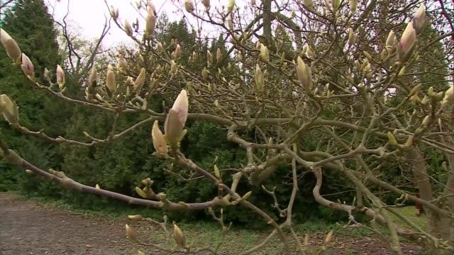 vidéos et rushes de magnolia buds - brindille