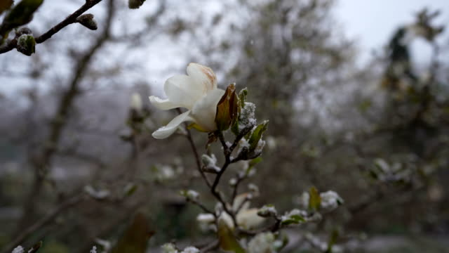 magnolia tree dusted with snow - botany stock videos & royalty-free footage