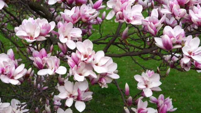 Tulip Tree Videos And B Roll Footage