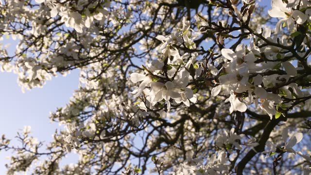 magnolia tree in full bloom in kensington gardens on march 29, 2021 in london, england. - springtime stock videos & royalty-free footage