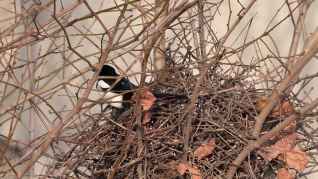 a magpie and it's nest - bird's nest stock videos & royalty-free footage