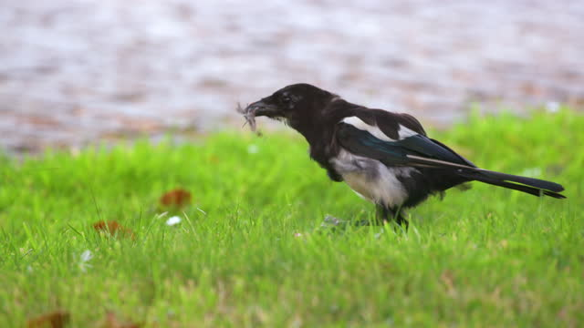 stockvideo's en b-roll-footage met magpie eats carrion, cayton, north yorkshire, england - pikken