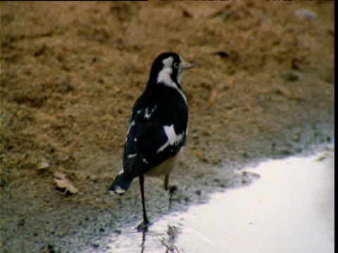 magpie lark walks next to waterhole in outback, northern territory, australia - songbird stock videos & royalty-free footage