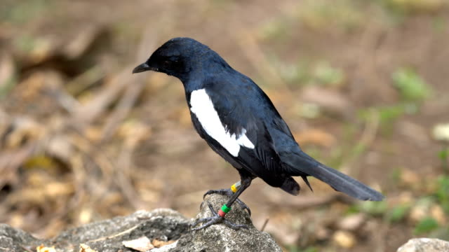 magpie robin in the forest, seychelles - wildlife tracking tag stock videos and b-roll footage