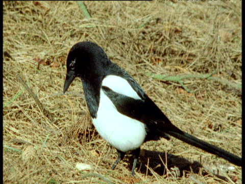 magpie with iridescent wings, pigeon walks in front of it, uk - elster stock-videos und b-roll-filmmaterial