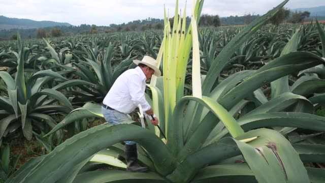 Maguey plants grow at the Del Razo Family ranch where Pulque alcohol is processed in Nanacamilpa Tlaxcala Mexico on December 3rd 2015 Photographer...