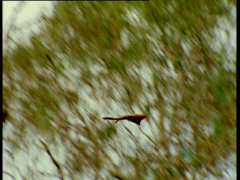 mahogany glider glides between eucalyptus trees, queensland - gliding stock videos and b-roll footage