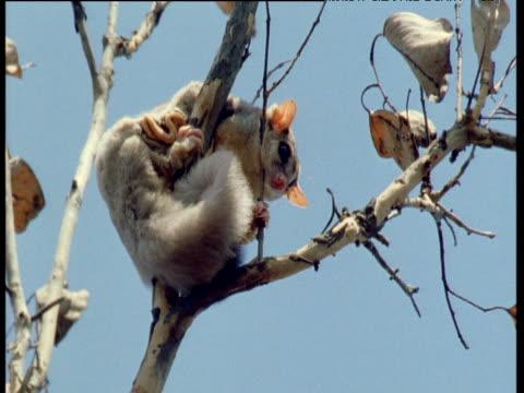 mahogany glider sits in eucalyptus tree, queensland - albero tropicale video stock e b–roll
