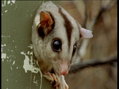 mahogany glider sticks its face out of nest box, queensland - hole stock videos & royalty-free footage