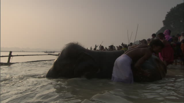 Mahout scrubs elephant's back wallowing in Gandak River, Sonepur Mela Available in HD.