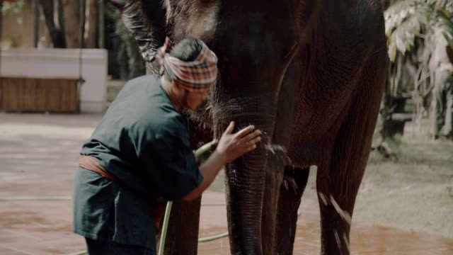 mahout showering to his elephant - chiang mai province stock videos & royalty-free footage