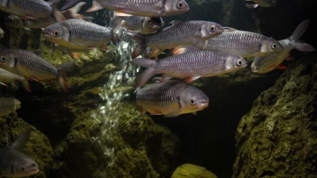 Mahseer barb den bewegenden Augenblick Fisch