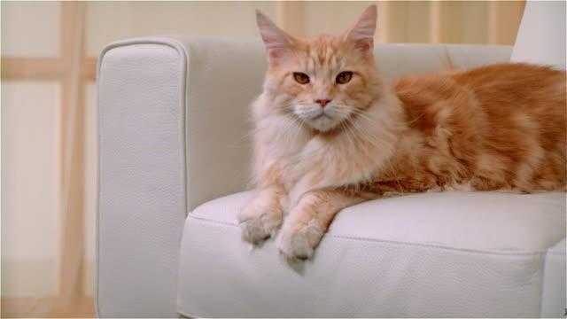 CU, Maine Coon cat lying on sofa
