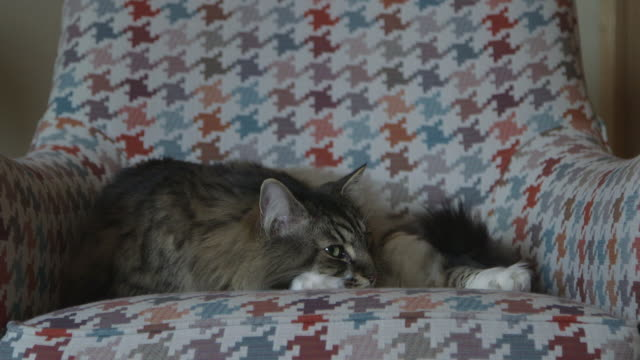 a maine coon cat, relaxing at home - 1 minute or greater stock videos & royalty-free footage