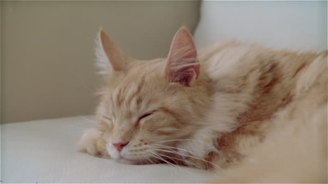 cu zo maine coon cat sleeping on sofa - 横たわる点の映像素材/bロール