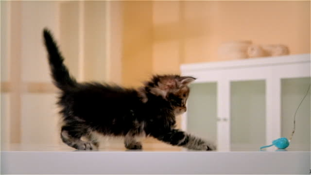 CU, PAN, Maine Coon kitten playing with artificial mouse