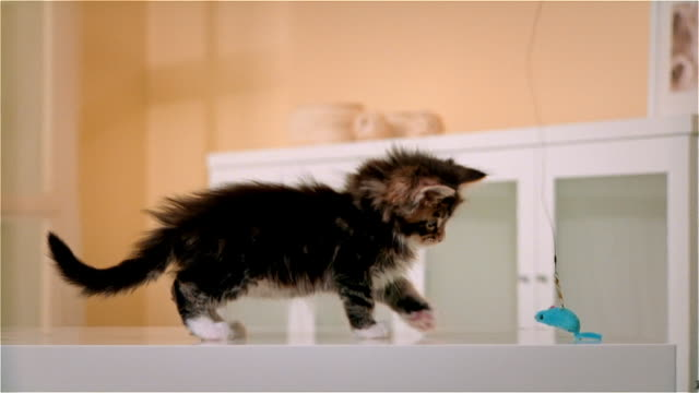 cu, maine coon kitten playing with artificial mouse - 30 seconds or greater stock videos & royalty-free footage