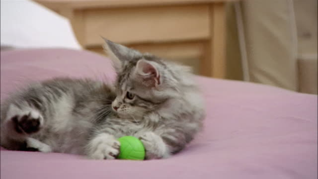 maine coon kitten playing with ball on top of bed / lying down with ball cradled between front paws - 横たわる点の映像素材/bロール