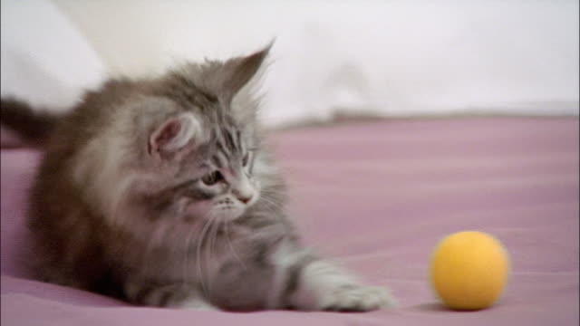 Maine coon kitten playing with ball on top of bed